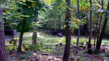 Wildschweine Naturpark Sparbach