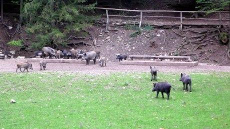 Wildschweine im Naturpark Sparbach